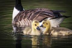 канадские гусята гусыни Стоковые Фото
