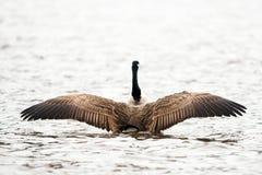 Канадские крыла flapping гусыни в предполетном стоковое фото