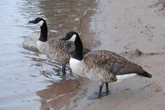 Канадские пары гусыни на пляже Стоковое Изображение RF