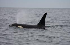 канадский кит резидента убийцы Стоковое фото RF