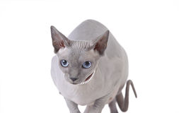 Канадский кот sphynx Стоковые Изображения RF