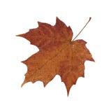 канадский клен листьев Стоковое Изображение