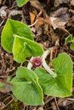 Канадский одичалый имбирь Стоковое фото RF