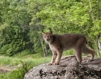 канадский портрет lynx Стоковое Изображение RF