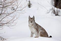 канадский портрет lynx Стоковое Фото