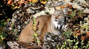 Канадский рысь Стоковые Фотографии RF