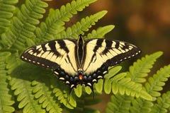 канадский тигр swallowtail Стоковое Изображение RF