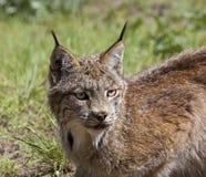 Канадский Lynx в западных США Стоковая Фотография RF