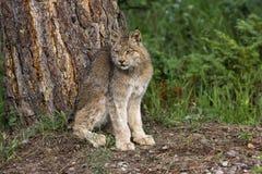 Канадский Lynx Стоковое фото RF