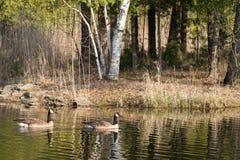 2 канадских гусыни на пруде Стоковое Изображение