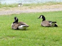 2 канадских гусыни сидя в траве Стоковое Фото