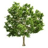 Канадское большое изолированное дерево клена Стоковые Фотографии RF