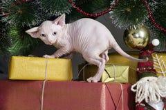 канадское sphynx кота Стоковая Фотография RF
