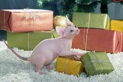 канадское sphynx кота Стоковое Изображение RF