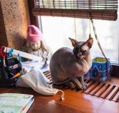 канадское sphynx кота Стоковые Фото