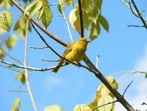 канереечный желтый цвет Стоковые Изображения