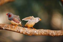 2 канереечных птицы на ветви Стоковые Изображения RF