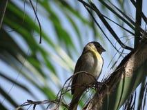 Канерейка - птица Стоковые Изображения RF