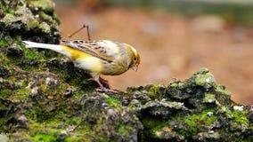 канерейка птицы Стоковые Изображения