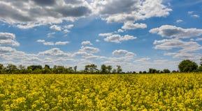 Канола крупный план поля с запачканным голубым небом как предпосылка Стоковое Фото