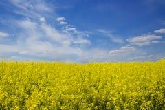 Канола цветения в поле под голубым небом стоковые изображения rf