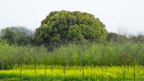Канола цветок и большое дерево весной стоковые фотографии rf