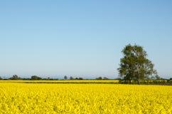 Канола ландшафт полей Стоковые Фото