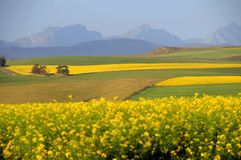 Канола поле в Overberg - Южной Африке Стоковое Изображение RF