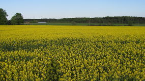 канола поле на стороне страны Стоковое Изображение