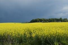 Канола поле против бурного неба Стоковые Фото