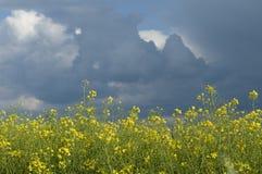 Канола поле против бурного неба Стоковое Изображение RF