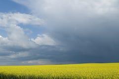 Канола поле против бурного неба Стоковое Изображение