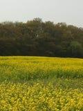 Канола поле цветка Стоковые Изображения RF