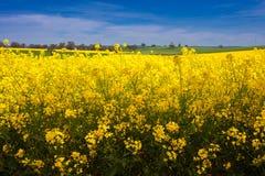 Канола поле Стоковая Фотография RF