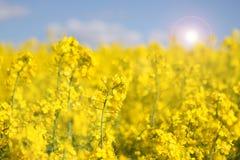Канола поля весной Стоковое Фото