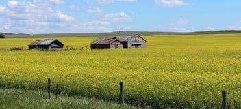 Канола поля в Альберте, Канаде Стоковое Изображение