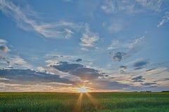 Канола Sunburst Стоковая Фотография