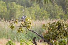 2 канюка lizzard на ветви Стоковое фото RF