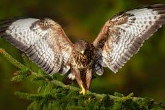 Канюк в мухе Канюк хищной птицы общий, канюк канюка, сидя на coniferous елевой ветви дерева Птица спрятанная в дереве в темноте Стоковое Изображение RF