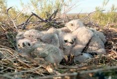 Канюк гнезда длинный шагающий Стоковое Изображение