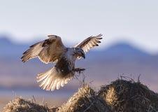 Канюк летания стоковая фотография rf