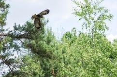 Канюк канюка витая в небе Стоковые Фотографии RF