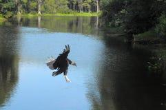 Канюк подготавливая приземлиться Стоковые Изображения RF
