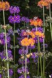 Канделябры Primula стоковая фотография