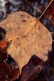 Капельки листьев и воды тополя Стоковое Изображение RF