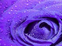 капельки черноты близкие изолировали пурпуровую розовую поднимающую вверх воду Стоковые Фотографии RF