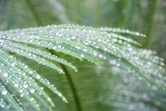Капельки воды крупного плана на зеленом саговнике листают весной время Стоковое Фото