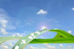 Капельки воды на листьях риса Стоковая Фотография
