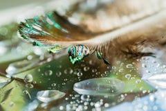 Капельки воды на предпосылке пера павлина и зеленых листьев, селективный фокус, Стоковое Изображение