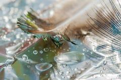 Капельки воды на предпосылке пера павлина и зеленых листьев, селективный фокус, Стоковая Фотография RF